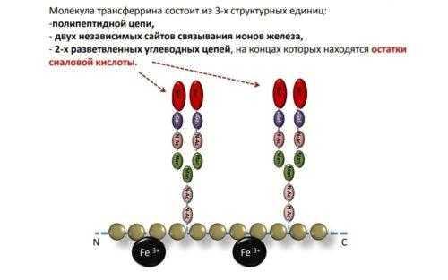 Молекула трансферрина